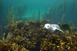 Young Grey Seal (Halichoerus Grypus) Resting on a Bed of Seaweed, Inner Hebrides, Scotland, UK Photographic Print by Alex Mustard