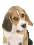 Portrait of a Beagle Puppy Photographie par Mark Taylor