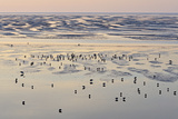 Redshank (Tringa Totanus) Foraging on Tidal Flats. Liverpool Bay, UK, December Photographic Print by Andy Rouse
