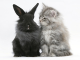 Maine Coon Kitten, 8 Weeks, and Black Baby Dutch X Lionhead Rabbit Photographic Print by Mark Taylor