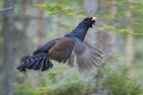 Capercaillie (Tetrao Urogallus) Cock in Flight, Bergslagen, Sweden, April 2009 Photographic Print by E. Haarberg