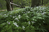 Wood Anemones (Anemone Nemorosa) in Flower, Matsalu National Park, Estonia, May 2009 Photographic Print by  Rautiainen