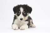 Border Collie Puppy Lying Photographic Print by Mark Taylor