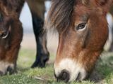 Exmoor Pony (Equus Caballus) Grazing, Sandlings Heath, Suffolk, UK Photographic Print by David Tipling