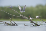 Common Terns (Sterna Hirundo) on Branches Sticking Out of Water, Lake Belau, Moldova, June 2009 Photographic Print by  Geslin