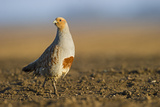Grey Partridge (Perdix Perdix) on a Bare Field, Norfolk, England, UK, April Photographic Print by David Tipling