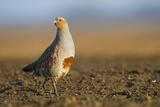 Grey Partridge (Perdix Perdix) on a Bare Field, Norfolk, England, UK, April Photographic Print by David Tipling