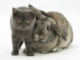 Grey Kitten and Agouti Lop Rabbit Photographic Print by Mark Taylor