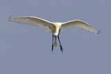 Spoonbill (Platalea Leucorrodia) in Flight, Texel, Netherlands, May 2009 Photographic Print by  Peltomäki