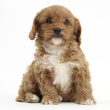 Cavapoo (Cavalier King Charles Spaniel X Poodle) Puppy, 6 Weeks, Sitting Photographic Print by Mark Taylor