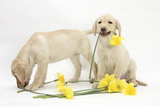 Mark Taylor - Yellow Labrador Retriever Bitch Puppies, 10 Weeks, Lying with Yellow Daffodils - Fotografik Baskı