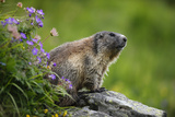 Alpine Marmot (Marmota Marmota) Hohe Tauern National Park, Austria, July 2008 Photographic Print by  Lesniewski