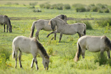 Konik Horse Herd Grazing with Two Stallions Interacting, Wicken Fen, Cambridgeshire, UK, June Photographic Print by Terry Whittaker
