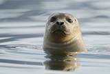 Common Seal (Phoca Vitulina) Jökulsárlón Glacial Lagoon, Iceland, June 2008 Photographic Print by O. Haarberg