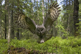 Great Grey Owl (Strix Nebulosa) in Flight in Boreal Forest, Northern Oulu, Finland, June 2008 Lámina fotográfica por Cairns