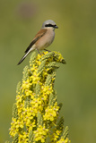 Red-Backed Shrike Male (Lanius Collurio) Perched on Denseflower Mullein, Bulgaria, May Papier Photo par  Nill