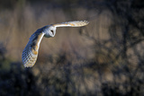 Barn Owl (Tyto Alba) in Flight, Norfolk, England, UK, February Photographic Print by David Tipling