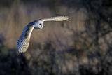 Barn Owl (Tyto Alba) in Flight, Norfolk, England, UK, February Photographic Print by David Tipling