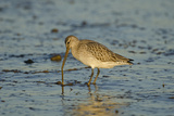 Bar-Tailed Godwit Foraging for Tidal-Flat Worm. Norfolk, January. Sequence 2 of 2 Photographic Print by David Tipling