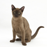 Young Burmese Cat, Sitting Photographic Print by Mark Taylor