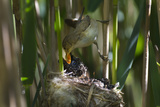 Cuckoo (Cuculus Canorus) Chick in Reed Warbler Nest (Acrocephalus Scirpaceus) Fed by Warbler, UK Photographic Print by David Tipling