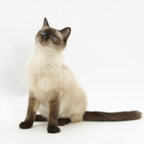 Birman-Cross Cat Looking Up Photographic Print by Mark Taylor