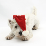 West Highland White Terrier, Betty, Wearing a Father Christmas Hat Photographic Print by Mark Taylor
