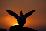 Silhouette of Razorbill (Alca Torda) Against Sunset, Flapping Wings. June 2010 Photographic Print by Peter Cairns