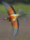 European Bee-Eater (Merops Apiaster) in Flight, Pusztaszer, Hungary, May 2008 Photographic Print by  Varesvuo