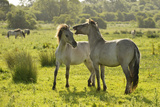 Konik Horse (Equus Caballus) Pair Interacting, Wild Herd in Rewilding Project, Wicken Fen, UK Photographic Print by Terry Whittaker