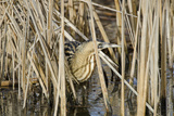 Bittern (Botaurus Stellaris) Camouflaged Amongst Reeds in Winter, Slimbridge Wwt, UK, February Photographie par David Tipling