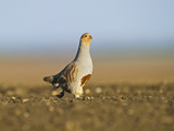 Grey Partridge (Perdix Perdix) on a Bare Field, Scraping for Food, Norfolk, England, UK Photographic Print by David Tipling