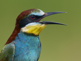 European Bee-Eater (Merops Apiaster) Vocalising, Pusztaszer, Hungary, May 2008 Photographic Print by  Varesvuo