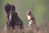 Red Squirrel (Sciurus Vulgaris) in Pine Forest. Glenfeshie, Scotland, December Photographic Print by Peter Cairns