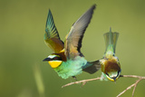 European Bee-Eater (Merops Apiaster) Pair in Courtship Display, Bulgaria, May 2008 Photographic Print by  Nill