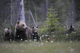 Widstrand - Eurasian Brown Bear (Ursus Arctos) with Three Cubs, Suomussalmi, Finland, July 2008 Fotografická reprodukce