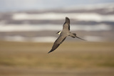 Long Tailed Skua (Stercorarius Longicaudus) in Flight, Thingeyjarsyslur, Iceland, June 2009 Photographic Print by  Bergmann