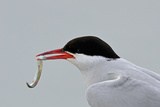 Arctic Tern (Sterna Paradisaea) with Sand Eel in Beak. Farne Islands, Northumberland, July Photographic Print by David Tipling