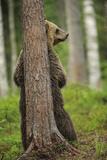 Eurasian Brown Bear (Ursus Arctos) Rubbing Back Against Tree, Suomussalmi, Finland, July 2008 Fotografie-Druck von  Widstrand
