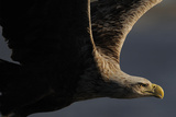 White Tailed Sea Eagle (Haliaetus Albicilla) in Flight, Flatanger, Norway, June 2008 Photographic Print by  Widstrand
