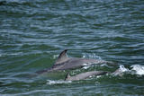 Two Bottlenosed Dolphins (Tursiops Truncatus) Surfacing, Moray Firth, Nr Inverness, Scotland, May Photographic Print by  Campbell