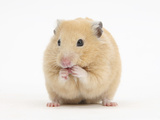 Golden Hamster Washing Itself Photographic Print by Mark Taylor