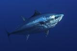 Atlantic Bluefin Tuna (Thunnus Thynnus) Portrait, Captive, Malta, Mediteranean, May 2009 Photographic Print by  Zankl