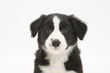Border Collie Puppy Portrait Photographic Print by Mark Taylor