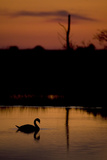 Mute Swan (Cygnus Olor) Adult Silhouetted on Lake at Sunset, Oostvaardersplassen, Netherlands Photographic Print by  Hamblin