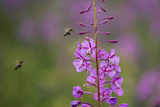 Fireweed (Chamerion Angustifolium) with Bees in Flight, Triglav Np, Slovenia, August Photographic Print by Zupanc