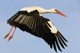 White Stork (Ciconia Ciconia) Flying, Pont Du Gau, Camargue, France, May 2009 Photographic Print by  Allofs