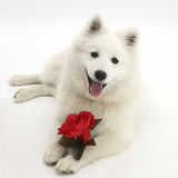White Japanese Spitz Dog, Sushi, 6 Months Old, Holding a Red Rose Photographic Print by Mark Taylor