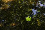 Sycamore Leaves Floating in Filby Broad with Trees Reflected in Water, Norfolk Broads, UK Photographic Print by David Tipling