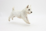 West Highland White Terrier Prancing Photographic Print by Mark Taylor